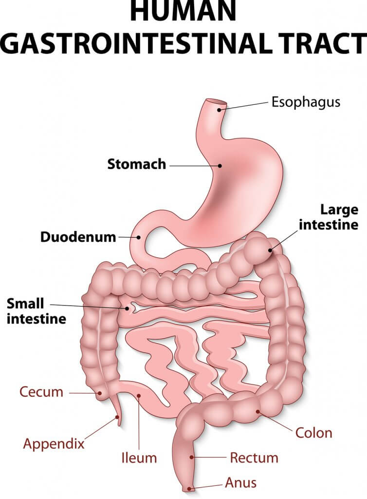 diagram of gi tract